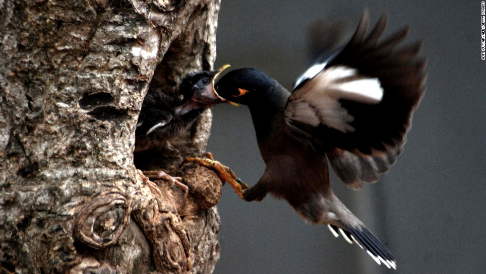 <strong>May 4:</strong> A common myna feeds her baby in a nest on a hot afternoon in Bhubaneswar, India. The common myna is native to Asia, and it is an important motif in Indian culture.