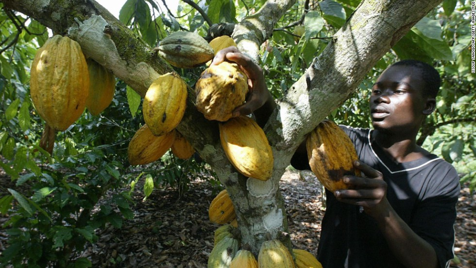 The cocoa harvesting process starts by cutting the ripe pods from the trees, breaking them open and extracting the beans.