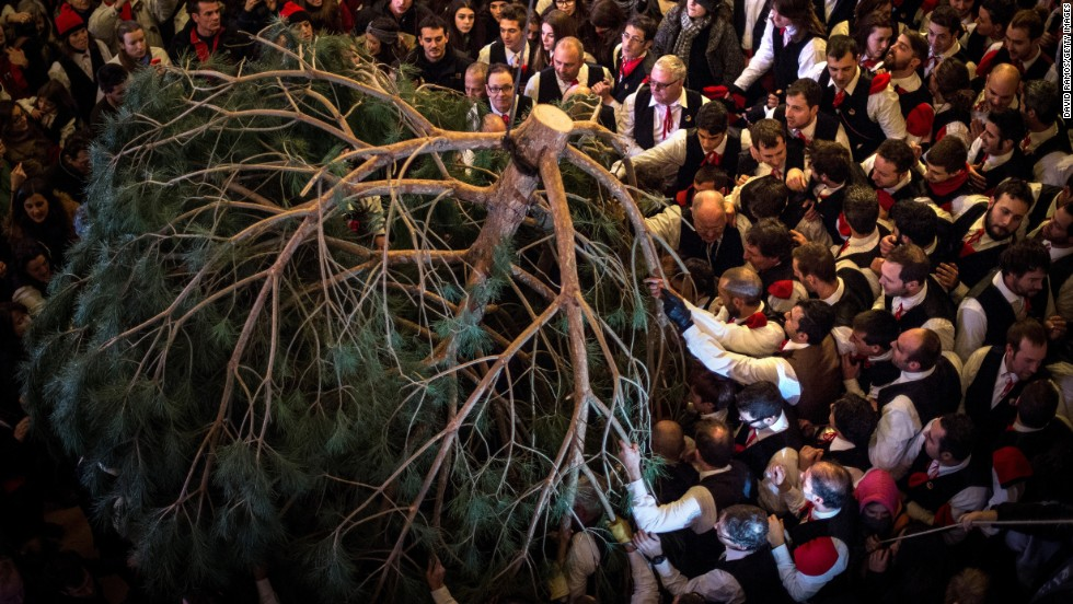 A pine tree is carried into a church in Barcelona, Spain, for the Festival of the Pine on Tuesday, December 30. Early in the morning, men and women born in the village of Centelles chop down a pine tree, load it onto an ox cart and take it to the church, where it is decorated with apples and wafers and hung there until January 6. The tradition has been documented since 1751.