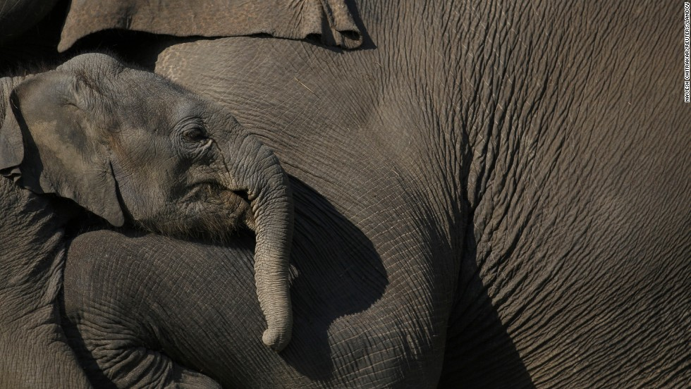 A baby elephant stands close to its mother at Chitwan National Park in Chitwan, Nepal, on Tuesday, December 30.