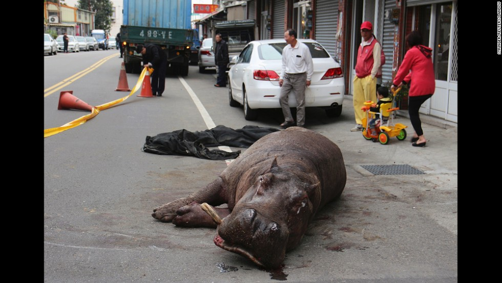"An injured hippo lies on the street after he jumped off a truck he was being transported in Friday, December 26, in Maioli County, Taiwan. The hippo <a href=""http://www.straitstimes.com/news/asia/east-asia/story/injured-hippo-dies-taiwan-owner-faces-jail-term-20141229"" target=""_blank"">died from his injuries</a> a few days later, according to Agence France-Press."