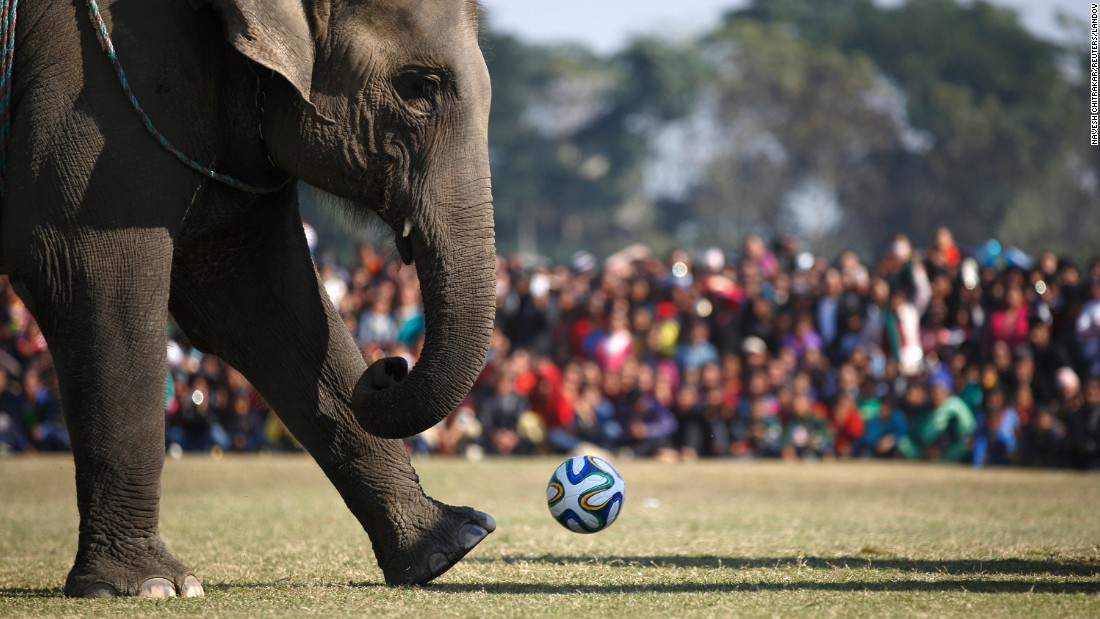 An elephant runs to kick a soccer ball while playing in a match Tuesday, December 30, at the Elephant Festival in Sauraha, Nepal.