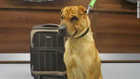 The Scottish SPCA is appealing for information after a dog was abandoned at Ayr railway station along with a suitcase. We were alerted on Friday 2 January after the male shar-pei crossbreed was discovered tied to a railing outside the station. The suitcase had a number of the dog's belongings, including a pillow, toy, food bowl and food.