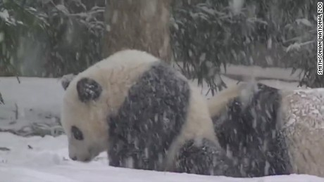 Panda's first snow day at the National Zoo