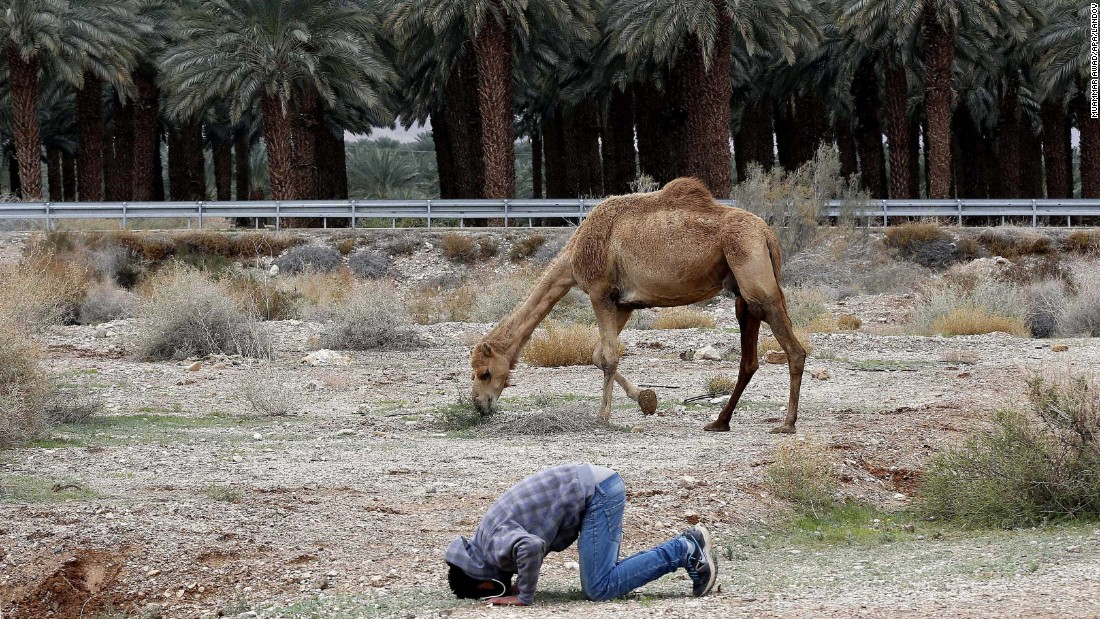 A Bedouin man prays near his camel in the Judean Desert, between Jerusalem and Jericho, West Bank, on Saturday, January 10.