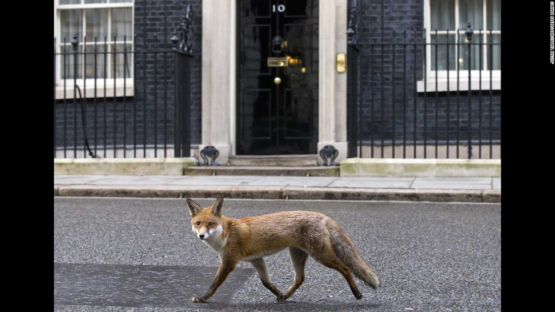 A fox runs past the door of 10 Downing Street, the Prime Minister's residence in London, on Tuesday, January 13.