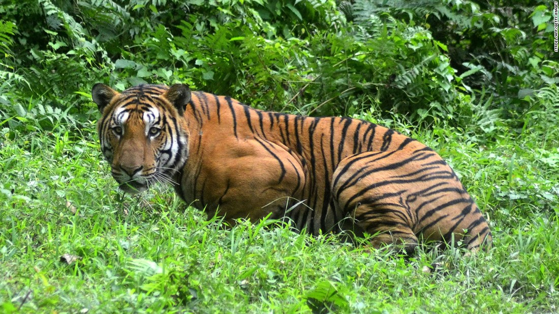 A Royal Bengal tiger pauses in a jungle clearing in Kaziranga National Park in Assam, India, on December 21, 2014.