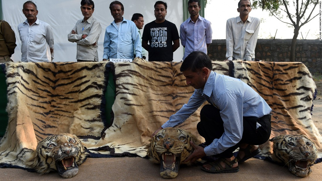 Tiger skins are displayed at the National Zoological Park in New Delhi, India, on November 2, 2014. The Ministry of Environment, Forest and Climate Change destroyed illegal wildlife artifacts, including animal skins, during an event highlighting the illegal trade in animal products.