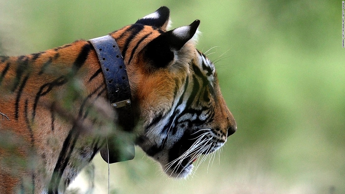 A tiger, seen wearing a collar, is spotted during a jungle safari at Ranthambore National Park, Rajasthan, India on October 22, 2010.