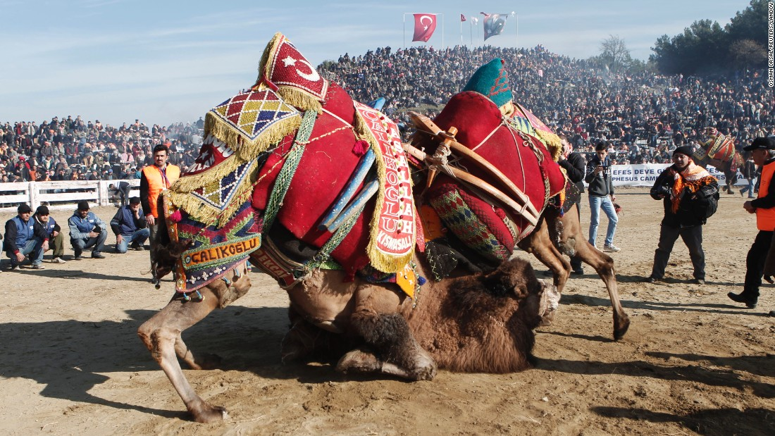 Two camels wrestle during the Selcuk-Efes Camel Wrestling Festival, which was held in Selcuk, Turkey, on Sunday, January 18. Hundreds of camels competed in the annual event, which is watched by thousands of enthusiasts in western Turkey.