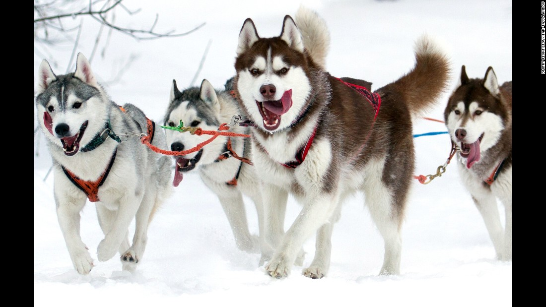 Sled dogs participate in the Siberian Cup competition Sunday, January 25, at the Millennium ski base in Omsk, Russia.
