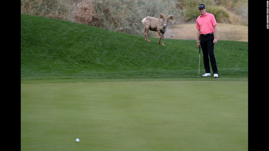 A ram watches Kyle Reifers line up a putt during the first round of the Humana Challenge, which took place Thursday, January 22, in La Quinta, California.