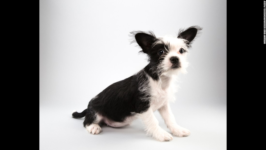 Shih tzu/terrier mix Pepper, 14 weeks, is all in for Team Fluff.