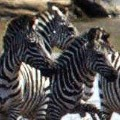 animal migration - zebra