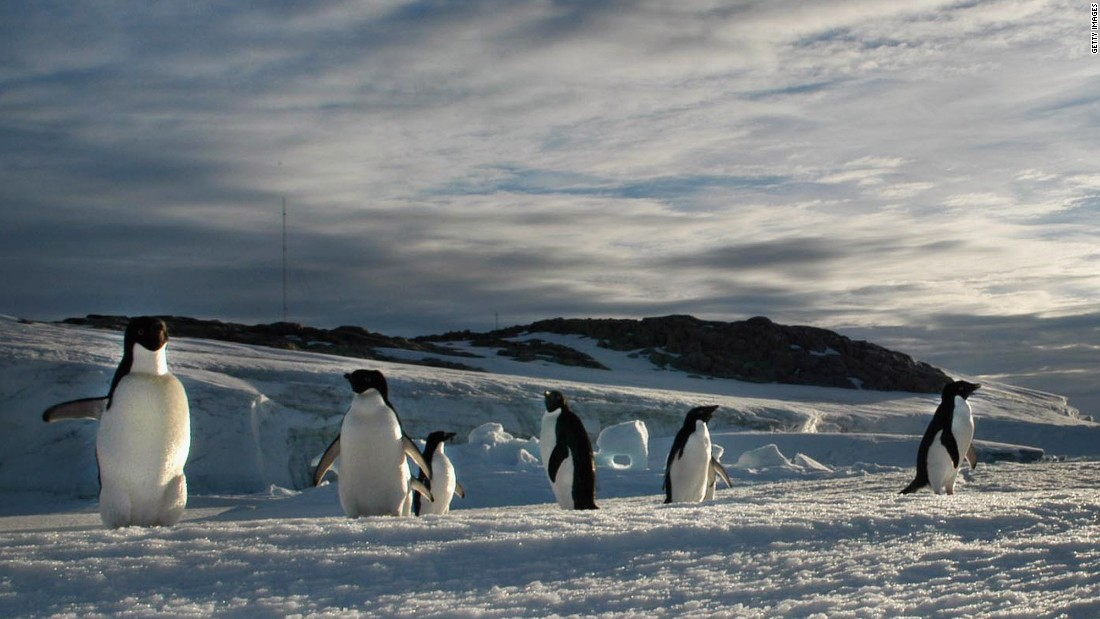 "Adelie penguins migrate in an 8,000-mile circle around the Ross Sea off Antarctica, on ""fast ice"" that develops during the winter. Doing so means they stay in sunlight, the clockwise migration taking them back to land and their breeding colonies for the summer months. <br />A 2013 census suggested ice retreat was -- contrary to other polar species -- actually boosting penguin numbers at a colony on Beaufort Island. <a href=""http://www.ncbi.nlm.nih.gov/pmc/articles/PMC3616090/"" target=""_blank"">Scientists recorded a population growth of 53%</a> across 20 years; it is believed the increase is due to the diminishing journey between land and the sea where Adélie penguins feed."