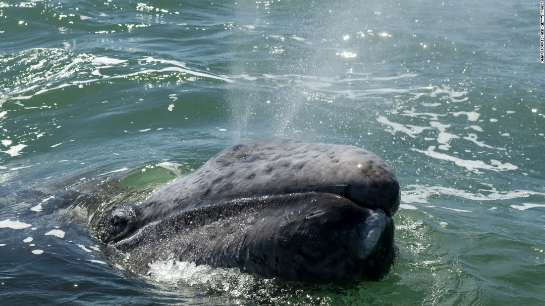 An eastern gray whale set a record this week for the longest recorded migration by a mammal -- a journey of nearly 14,000 miles from Russian waters to Mexico and back. Here's a look at some other arduous animal migrations -- many of which are facing human-made challenges.