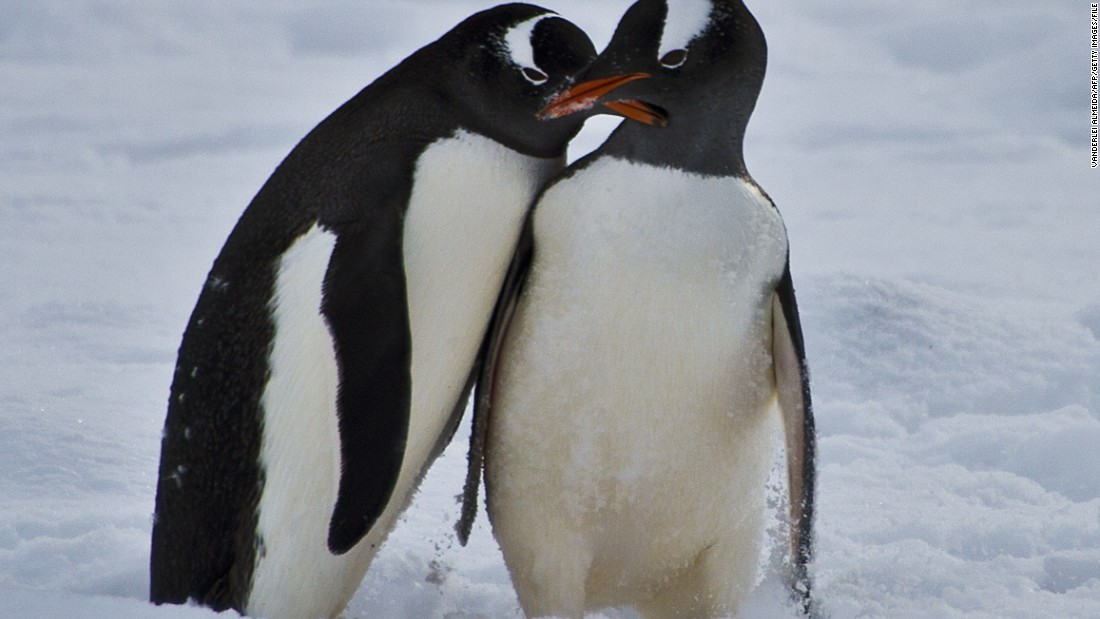 "<a href=""http://www.penguinwatch.org/"" target=""_blank"">Penguin Watch</a> is a citizen science project that lets people analyze images of penguins taken at locations around Antarctica. The pictures are then processed by experts to help inform climate change policy in the region. Pictured, penguins in the King George island, Antarctica."