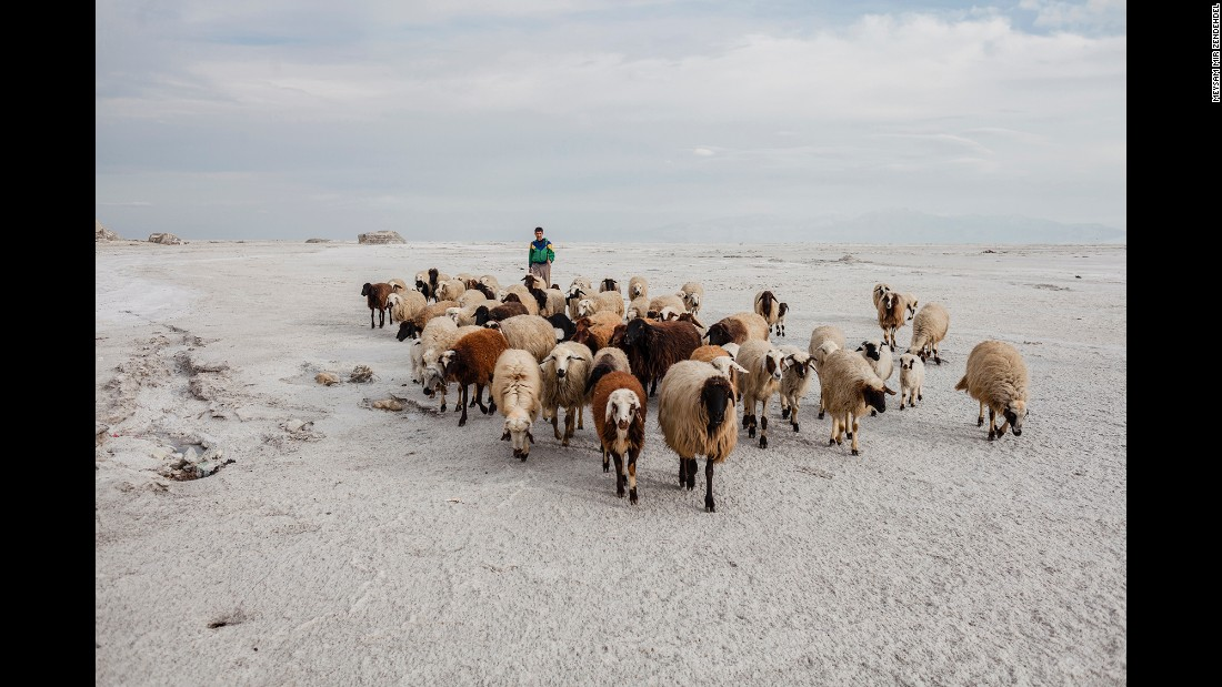 A herd of sheep walks at the lake.