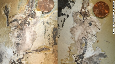The fossils of the Agilodocodon scansorius is shown at left, found in lake sediments and the Docofossor brachydactylus at right.