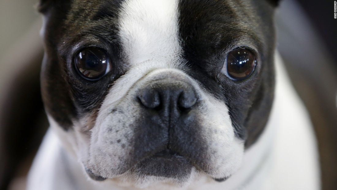 A Boston terrier named Mango relaxes during the show on February 16.