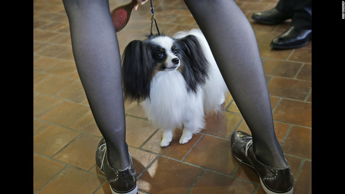 A papillon named Uno is groomed before entering the ring on February 16.