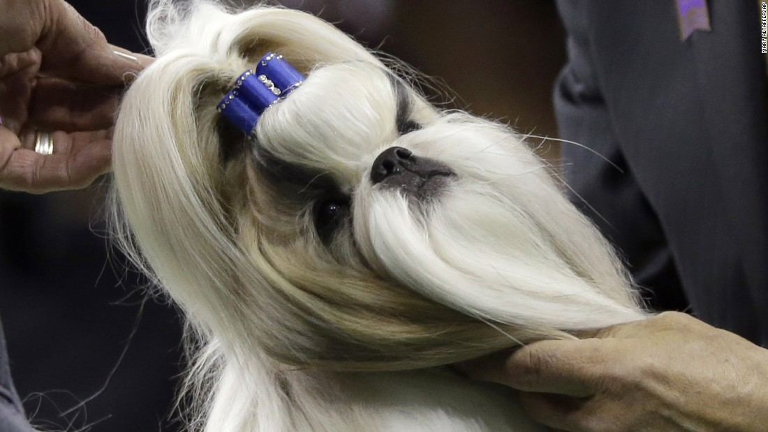 "Rocket, a Shih Tzu <a href=""http://www.cnn.com/2015/02/17/living/feat-patty-hearst-rocket-westminster-dog-show/index.html"" target=""_blank"">co-owned by heiress Patty Hearst,</a> gets inspected by a judge Monday, February 16, during the toy group competition she won at the Westminster Kennel Club Dog Show. The annual event is taking place in New York."