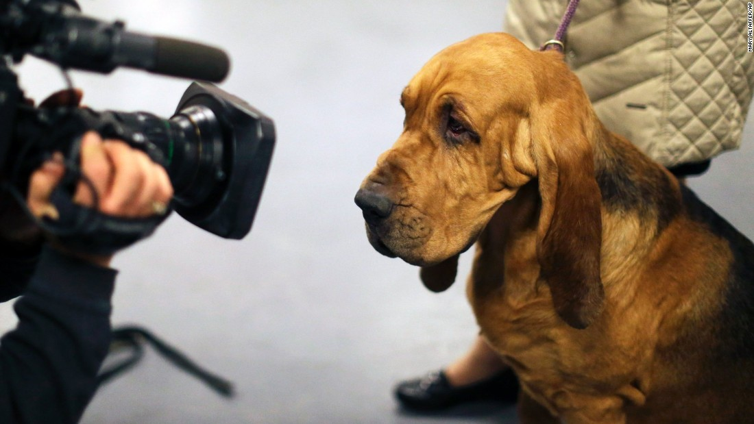 A cameraman films a bloodhound named Nathan on February 16.