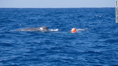 A humpback whale has become tangled up in a synthetic line attached to a buoy off the coast of the island of Hawaii.