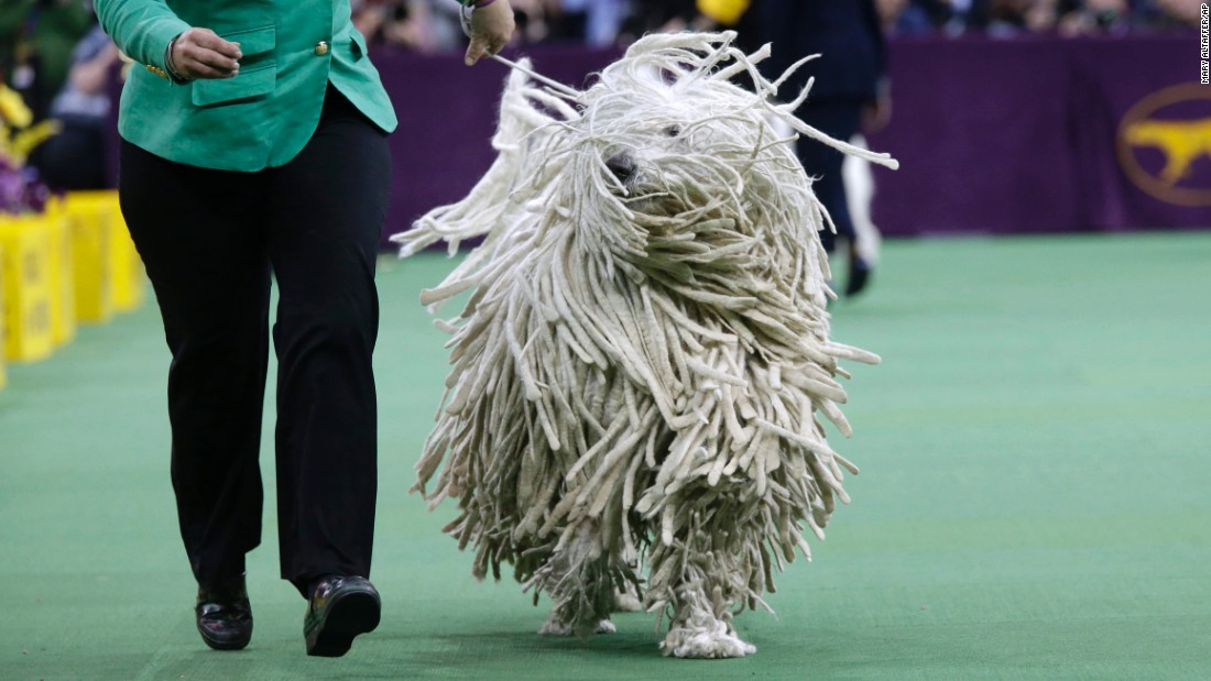 A komondor is shown during the working group round on February 17.