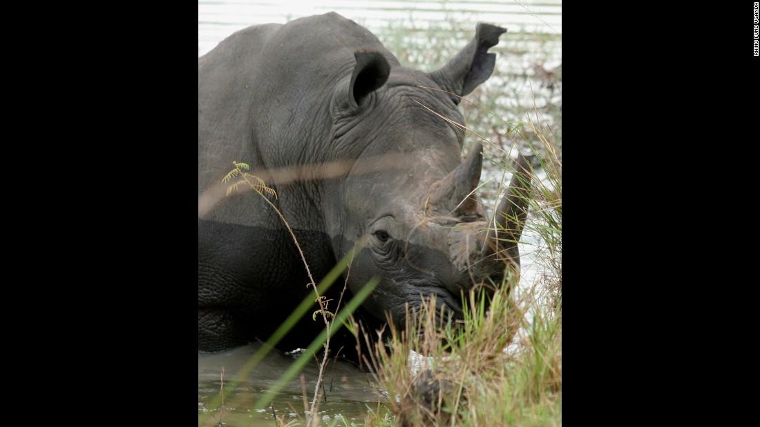 Uganda microchips rhinos to fight poaching