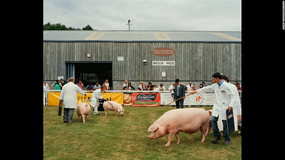 Traditional Welsh pigs are judged at a show in Builth Wells, Wales. That's a sausage advertisement behind them.