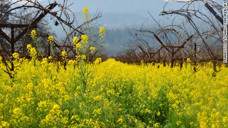Mustards bloom in California's Napa Valley on Feb. 4. http://ireport.cnn.com/docs/DOC-1223130