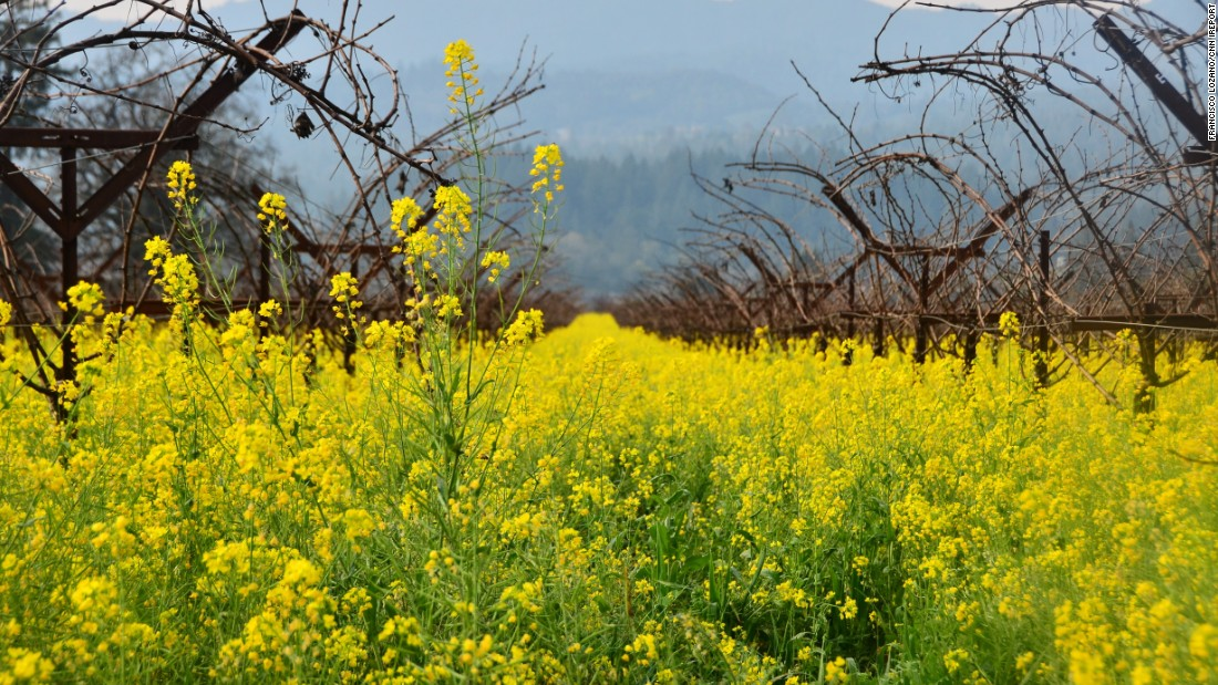 "<strong>Take a look back at spring blossoms from 2015:</strong> This is our kind of spring break. Mustard blooms <a href=""http://ireport.cnn.com/docs/DOC-1223130"">delight the eye</a> in California's Napa Valley on February 4. Click through the gallery to see more signs of spring and view photos submitted by CNN viewers below."