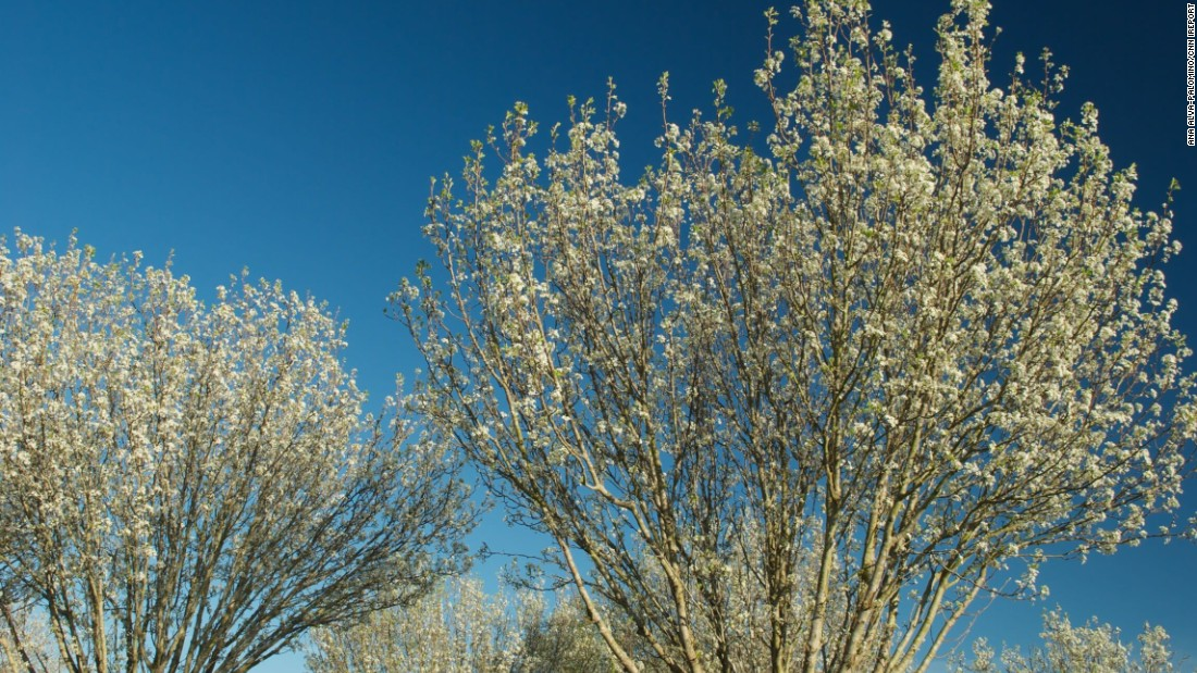 "<a href=""http://ireport.cnn.com/docs/DOC-1223814"">Pear blossoms </a>signal the start of spring in Houston, Texas, on March 6."