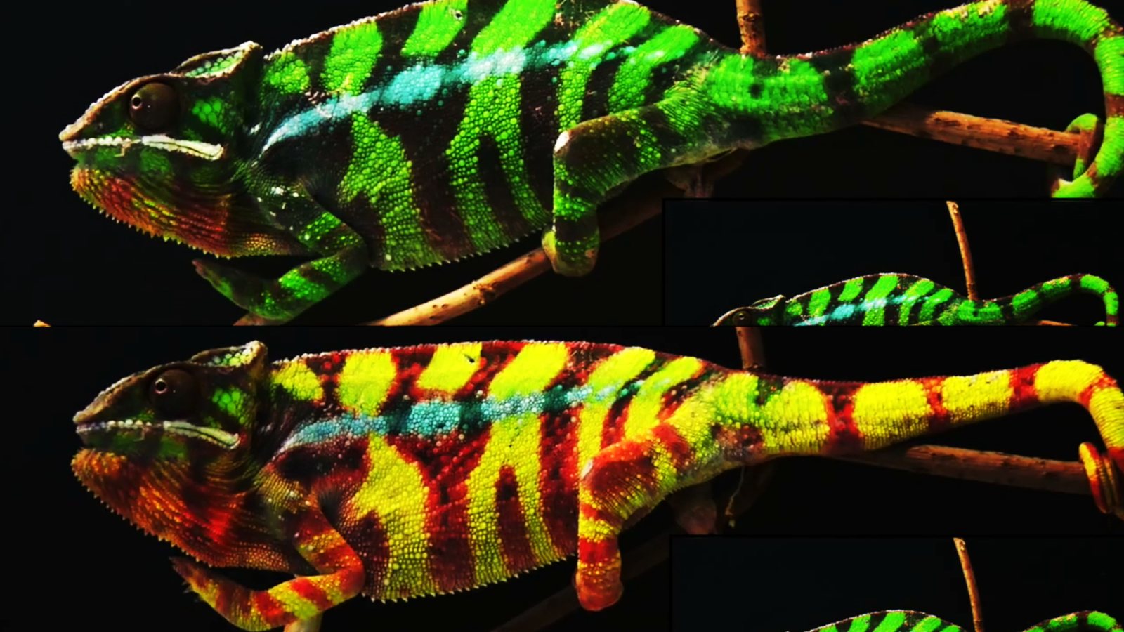 Scientists unlock how chameleons change colors CNN Video