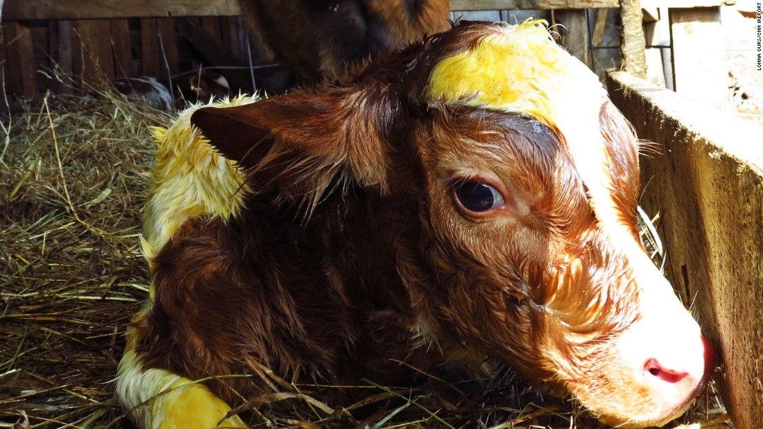 "<a href=""http://ireport.cnn.com/docs/DOC-1223216"">A new life begins</a> on March 9 in Petersburg, West Virginia. Lonna Ours was there to see her father-in-law's cow give birth. ""Seeing this little one be born made me think of all the new life that will begin soon."""