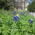 spring flowers bluebonnets texas