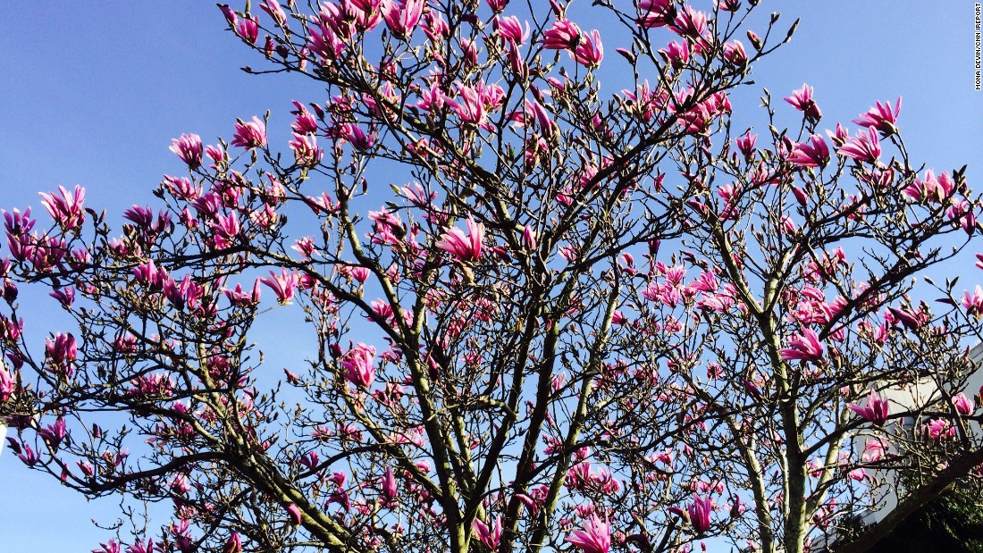 A newly blooming magnolia tree brings pops of color to Juanita Beach Park in Kirkland, Washington, March 12.