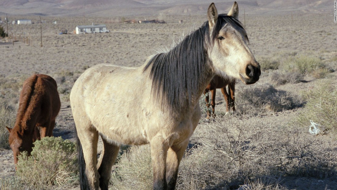 "Dutch photographer Charlotte Dumas portrays society's forgotten animals in up-close-and-personal projects. For her series ""The Widest Prairies,"" she lived in a trailer in Nevada. Over 40,000 wild horses roam freely over 10 states in western U.S."