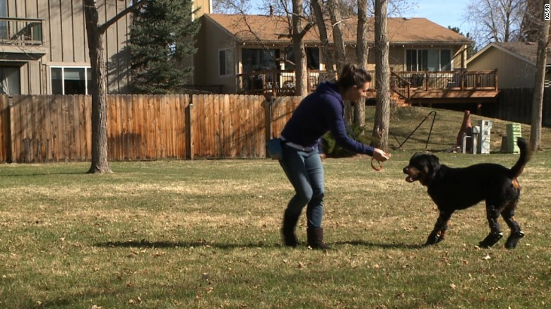 Quadruple amputee dog walks with prosthetic help