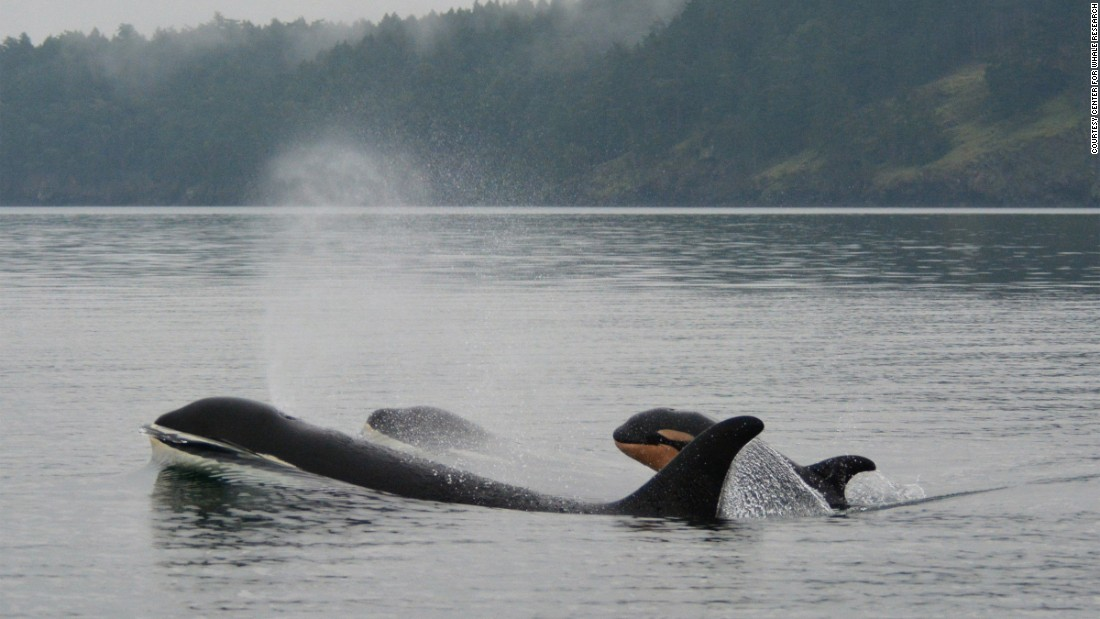 "Puget Sound whale researchers say the local killer whale population is in the middle of a ""baby boom."""