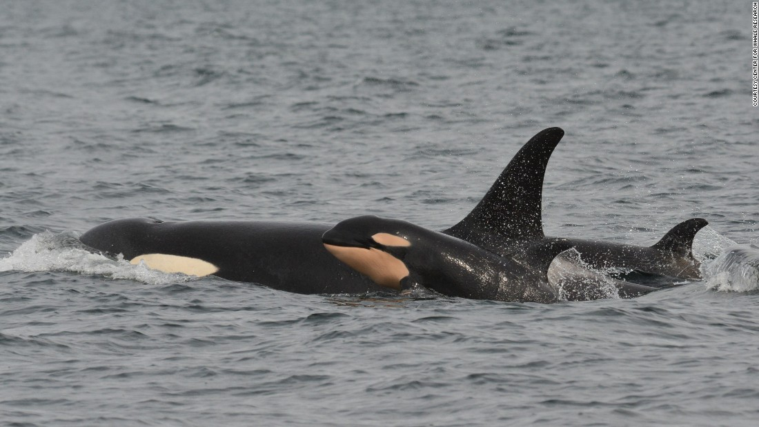 "The ""baby boom"" brings the total number of orcas in the area to 81."