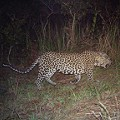 leapord big cats Gabon