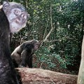 gabon chimpanzee study first lion