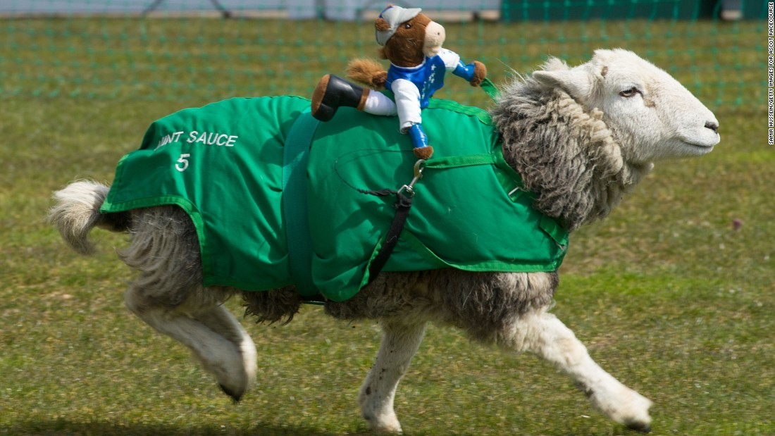 Racing isn't just for horses. Sheep are now proving they are decent woolly jumpers.