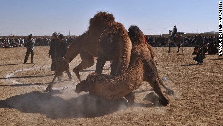 "In Turkey, Tulu hybrid camels are still used in ""camel wrestling"" competitions, the researchers said. The sport is also followed in Afghanistan -- pictured."