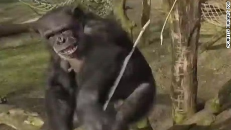 erin pkg moos chimp takes down drone_00000712
