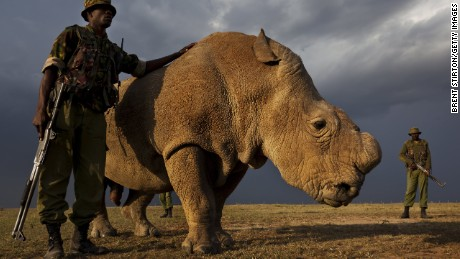 Horny and looking for love, world's last male northern white rhino joins Tinder