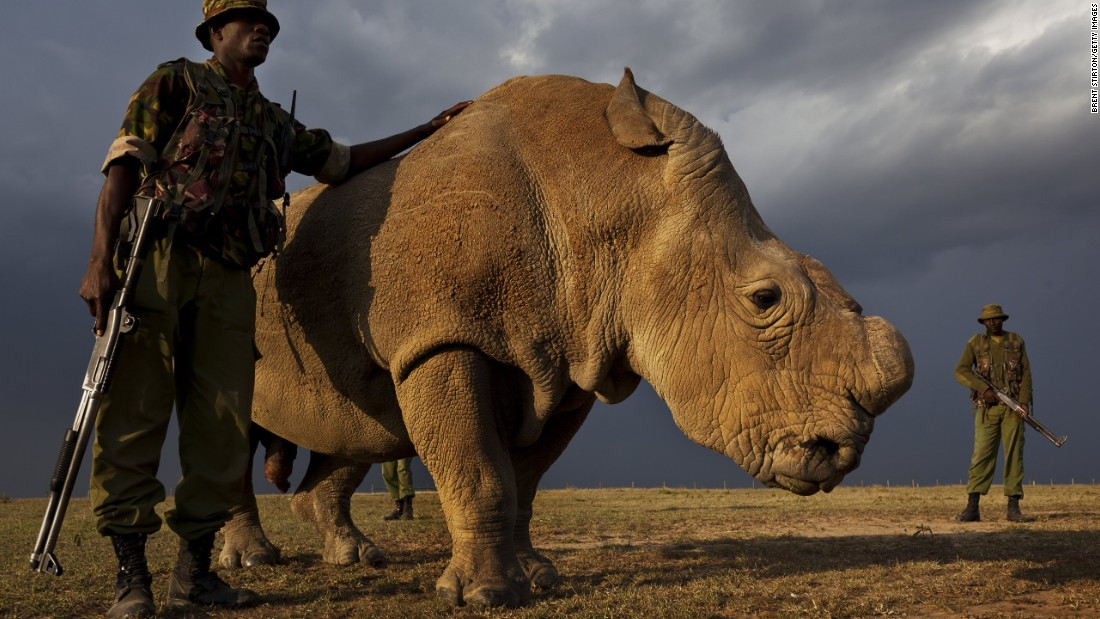 Sudan, the world's last remaining male northern white rhino, has joined Tinder in a bid to successfully breed and save the species.
