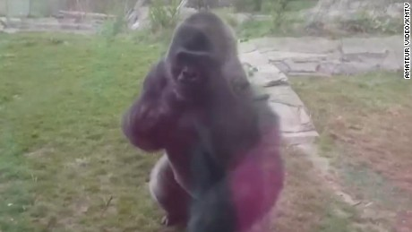 dnt ne zoo gorilla breaks glass _00000724